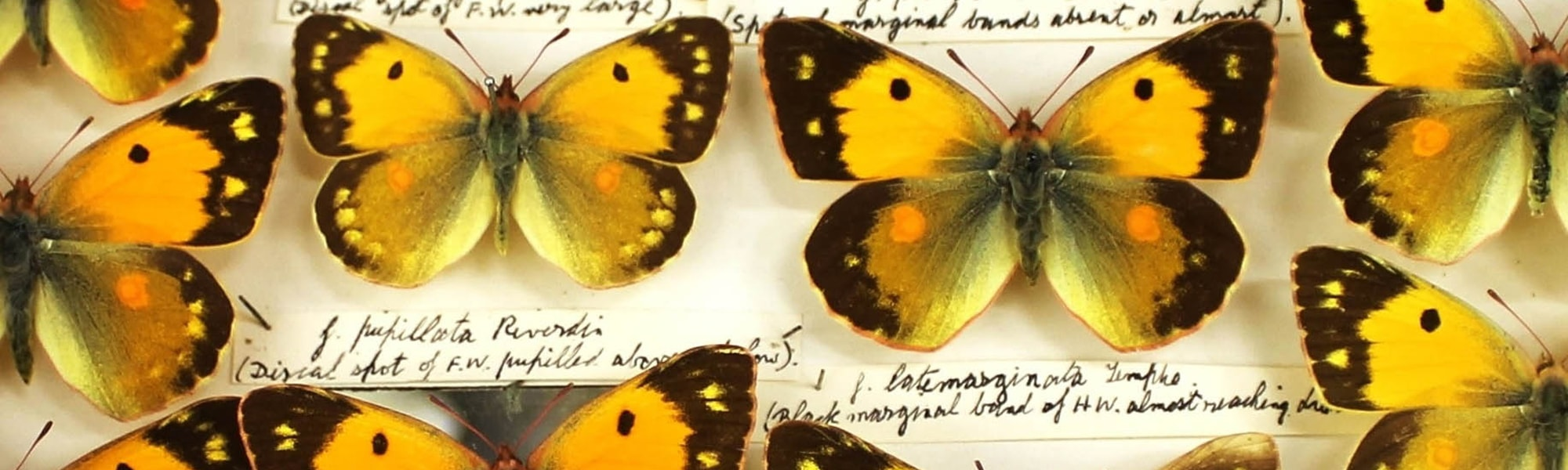 A detail shot of the st Albans museum Butterfly Collection